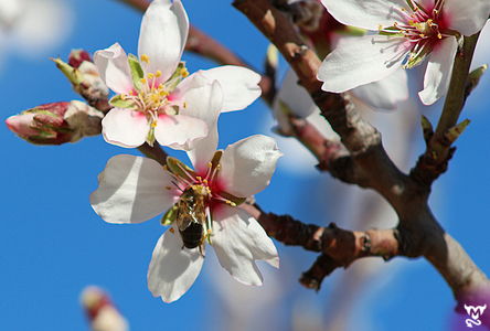 Spring-Special during the almond blossom